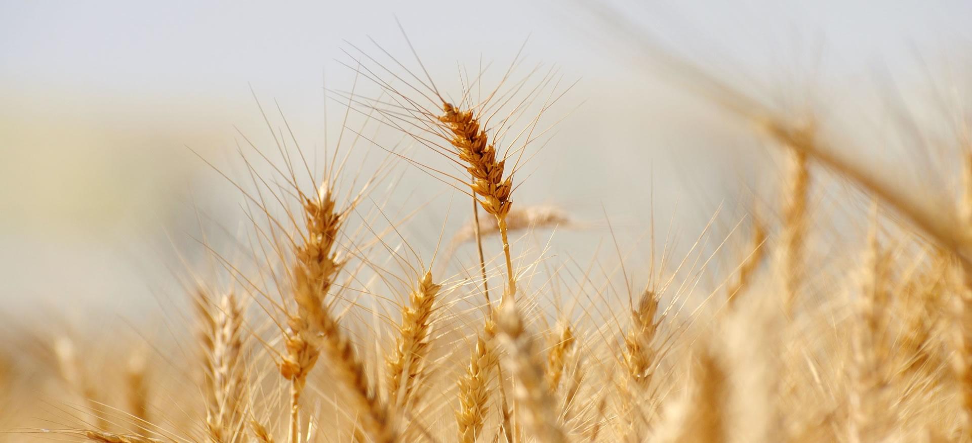 Pastificio grano
